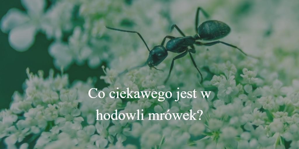 Co ciekawego jest w hodowli mrówek?